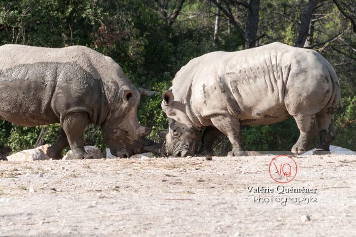 Affrontement de rhinocéros / Zoo de Montpellier / Occitanie - Réf : VQA1-54-0012 (Q2)