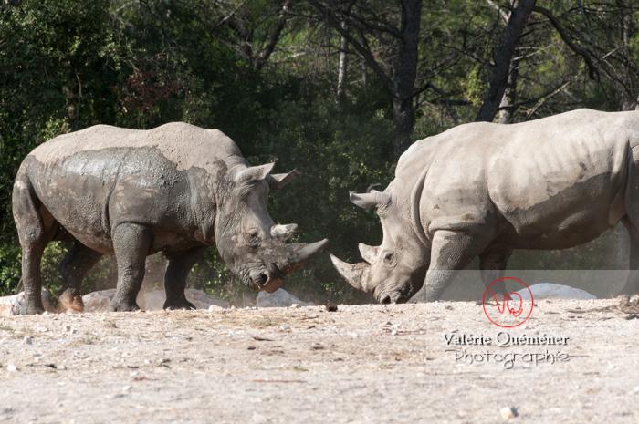 Affrontement de rhinocéros / Zoo de Montpellier / Occitanie - Réf : VQA1-54-0013 (Q2)