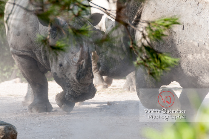 Affrontement de rhinocéros / Zoo de Montpellier / Occitanie - Réf : VQA1-54-0016 (Q2)