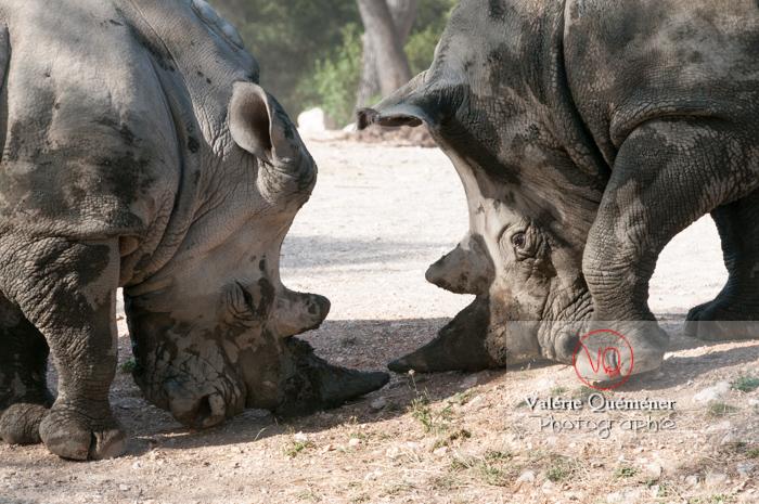 Affrontement de rhinocéros / Zoo de Montpellier / Occitanie - Réf : VQA1-54-0017 (Q2)