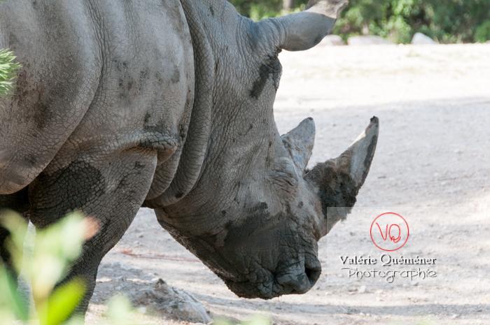 Affrontement de rhinocéros / Zoo de Montpellier / Occitanie - Réf : VQA1-54-0020 (Q2)