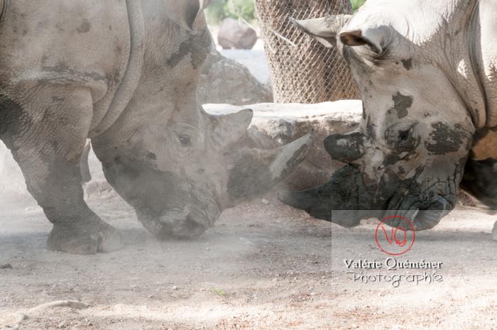 Affrontement de rhinocéros / Zoo de Montpellier / Occitanie - Réf : VQA1-54-0022 (Q2)