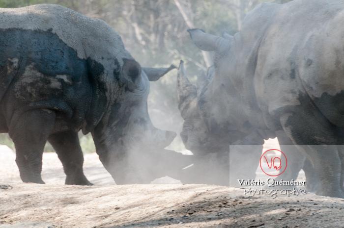 Affrontement de rhinocéros / Zoo de Montpellier / Occitanie - Réf : VQA1-54-0025 (Q2)
