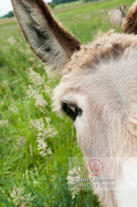 Portrait d'un âne du Cotentin dans une prairie - réf : VQA1-55-0010 (Q2)