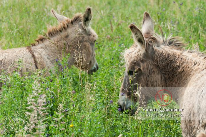 Ânes du Cotentin dans une prairie de hautes herbes - Réf : VQA1-55-0013 (Q2)