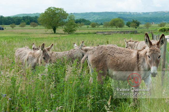 Ânes du Cotentin dans une prairie de hautes herbes- Réf : VQA1-55-0016 (Q2)