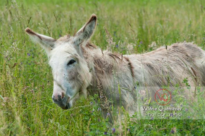 Âne du Cotentin dans une prairie de hautes herbes- Réf : VQA1-55-0019 (Q2)