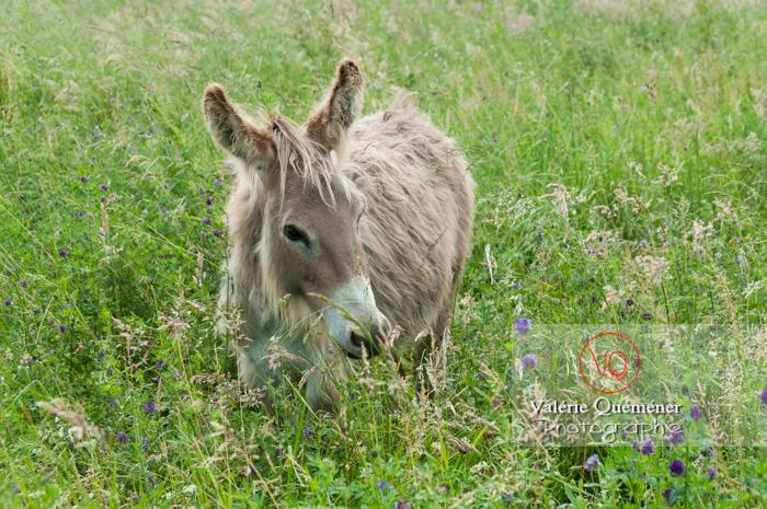 Âne du Cotentin dans une prairie de hautes herbes- Réf : VQA1-55-0021 (Q2)