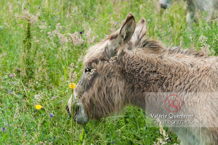 Âne du Cotentin dans une prairie de hautes herbes - Réf : VQA1-55-0022 (Q2)