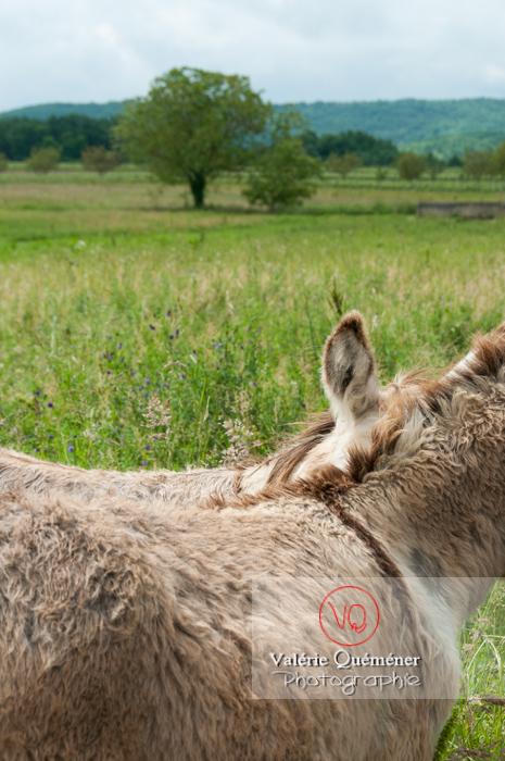 Ânes du Cotentin dans une prairie de hautes herbes - réf : VQA1-55-0024 (Q1)