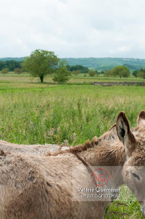 Ânes du Cotentin dans une prairie de hautes herbes- Réf : VQA1-55-0025 (Q2)