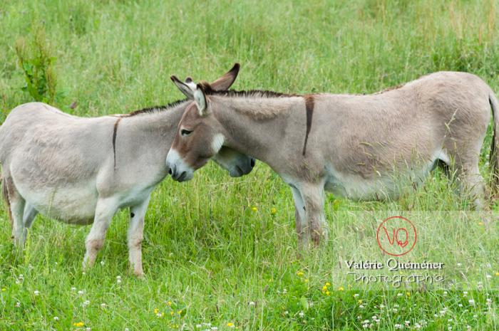 Ânes du Cotentin dans une prairie de hautes herbes- Réf : VQA1-55-0026 (Q2)