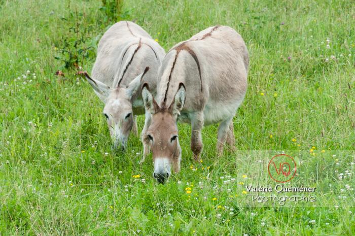 Ânes du Cotentin dans une prairie de hautes herbes- Réf : VQA1-55-0027 (Q2)