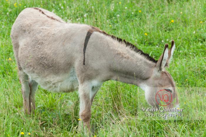 Âne du Cotentin dans une prairie de hautes herbes- Réf : VQA1-55-0028 (Q2)