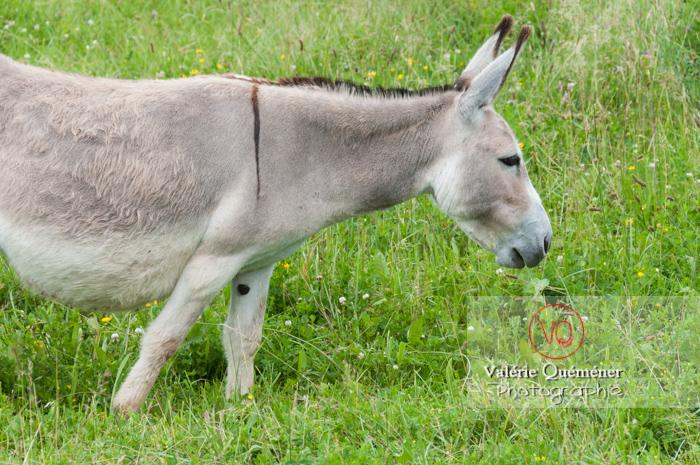 Âne du Cotentin dans une prairie de hautes herbes- Réf : VQA1-55-0029 (Q2)