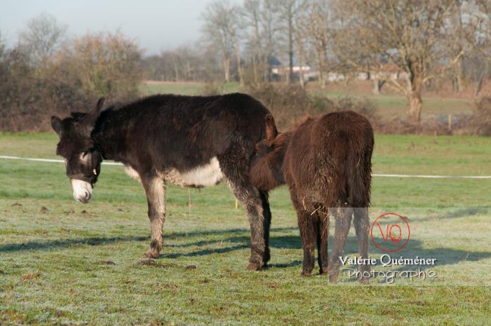 Ânesse noir et son ânon en hiver - Réf : VQA1-55-0036 (Q2)