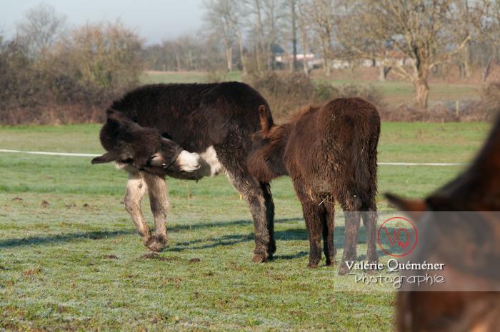 Ânesse noire et son ânon en hiver - Réf : VQA1-55-0037 (Q2)