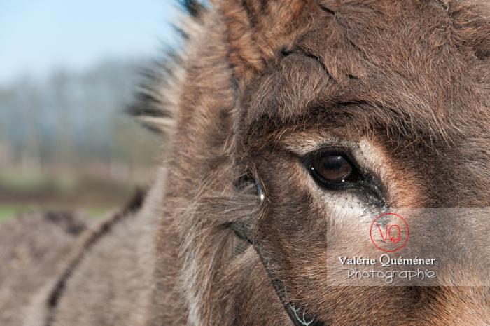 Portrait d'un âne gris en hiver - réf : VQA1-55-0042 (Q2)
