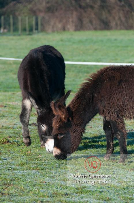 Ânesse noire et son ânon en hiver - Réf : VQA1-55-0043 (Q2)