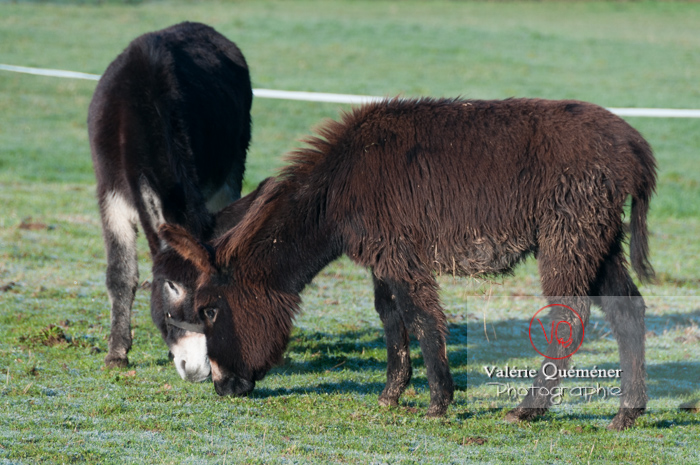 Ânesse noire et son ânon en hiver - Réf : VQA1-55-0044 (Q2)