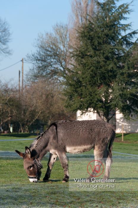 Âne gris en hiver - Réf : VQA1-55-0045 (Q2)