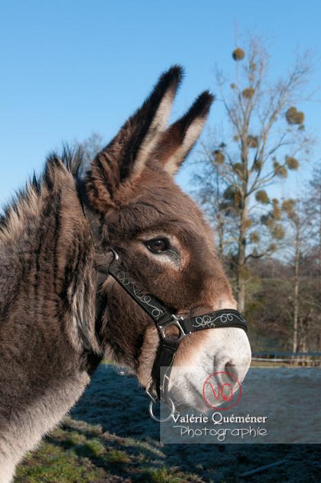 Portrait d'un âne gris en hiver - Réf : VQA1-55-0047 (Q2)
