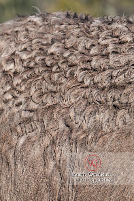 Détail pelage d'un âne gris en hiver - Réf : VQA1-55-0049 (Q2)