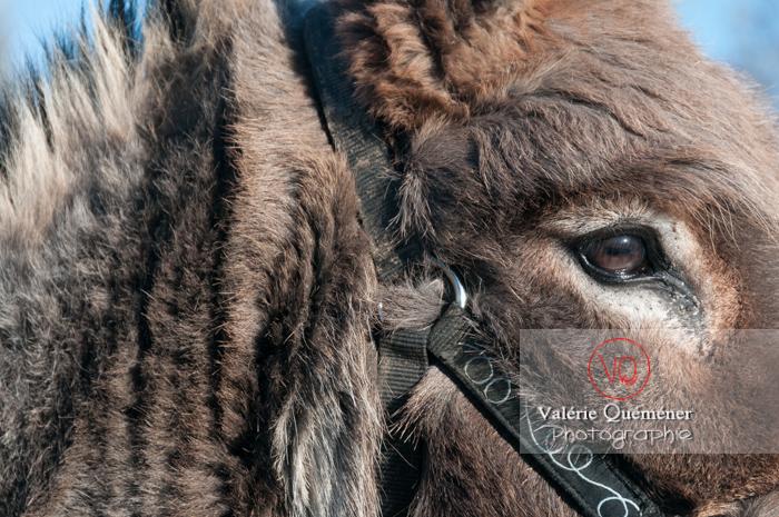 Portrait d'un âne gris en hiver - Réf : VQA1-55-0050 (Q2)