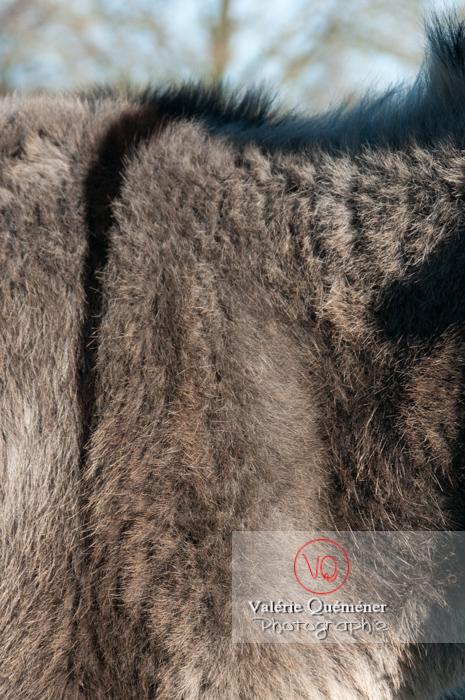 Détail pelage d'un âne gris en hiver - Réf : VQA1-55-0051 (Q2)