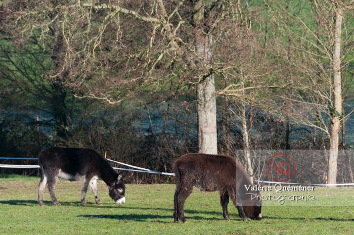 Ânesse noire et son ânon en hiver - Réf : VQA1-55-0052 (Q2)
