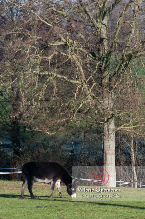Ânesse noir et son ânon en hiver - Réf : VQA1-55-0053 (Q2)