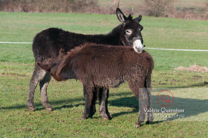 Ânesse noire et son ânon en hiver - Réf : VQA1-55-0057 (Q2)