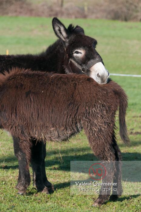 Ânesse noire et son ânon en hiver - Réf : VQA1-55-0058 (Q2)