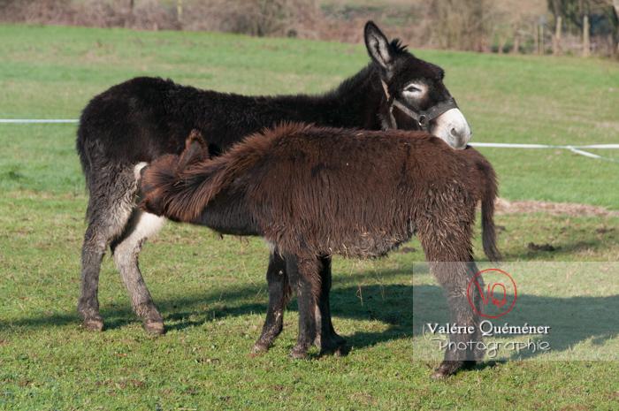 Ânesse noire et son ânon en hiver - Réf : VQA1-55-0059 (Q2)