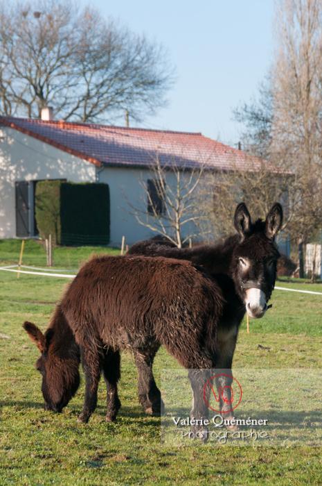 Ânesse noire et son ânon en hiver - Réf : VQA1-55-0061 (Q2)