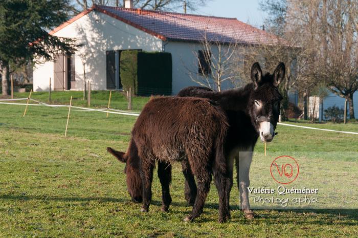 Ânesse noire et son ânon en hiver - Réf : VQA1-55-0062 (Q2)