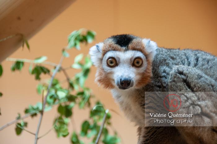 Maki couronné / Zoo de Montpellier / Occitanie - Réf : VQA1-60-0010 (Q2)