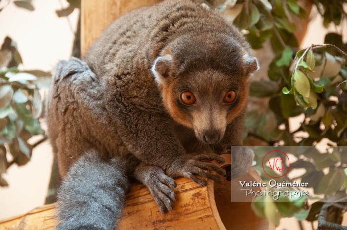 Portrait d'un maki mongoz - Réf : VQA1-60-0013 (Q2)