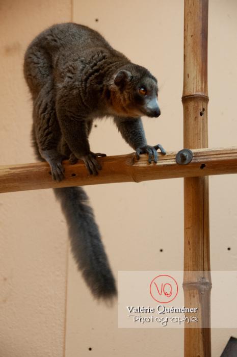 Maki mongoz / Zoo de Montpellier / Occitanie - Réf : VQA1-60-0016 (Q2)