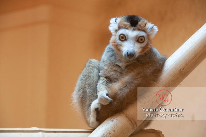 Maki couronné / Zoo de Montpellier / Occitanie - Réf : VQA1-60-0017 (Q2)