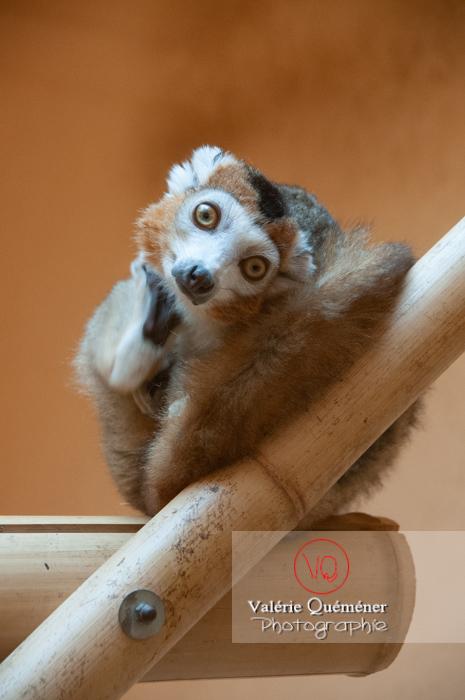 Maki couronné / Zoo de Montpellier / Occitanie - Réf : VQA1-60-0019 (Q2)