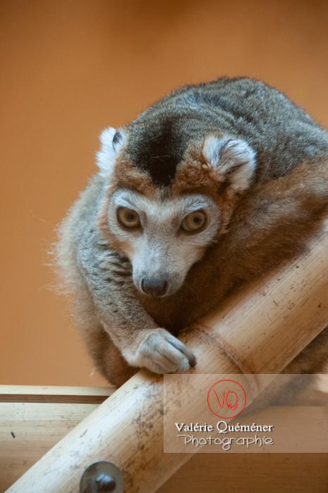 Maki couronné / Zoo de Montpellier / Occitanie - Réf : VQA1-60-0020 (Q2)