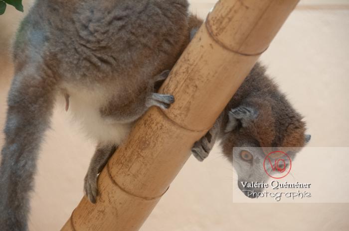 Maki mongoz / Zoo de Montpellier / Occitanie - Réf : VQA1-60-0022 (Q2)