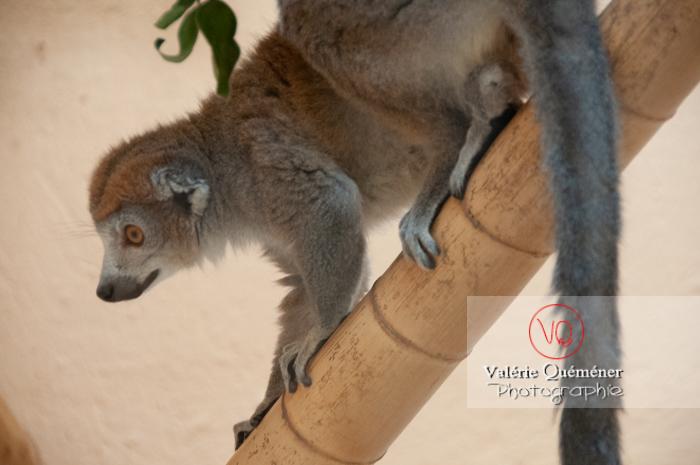 Maki mongoz / Zoo de Montpellier / Occitanie - Réf : VQA1-60-0023 (Q2)