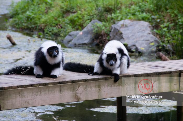 Maki varié noir & blanc / Zoo de Trégomeur / Bretagne - Réf : VQA1-60-0026 (Q2)