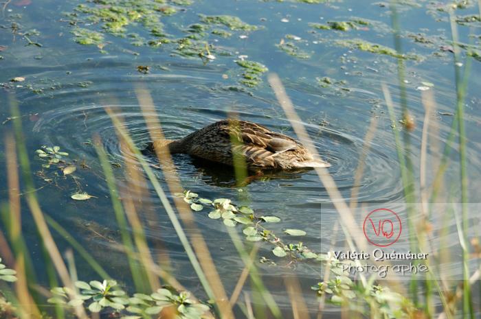 Canard colvert femelle la tête sous l'eau - réf : VQA22-0011 (Q1)