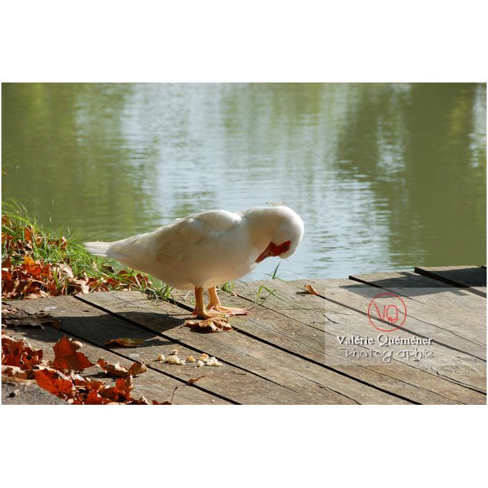 Canard de Barbarie ou canard musqué blanc en pied sur un ponton, se lissant les plumes du torse - Réf : VQA22-0016 (Q1)