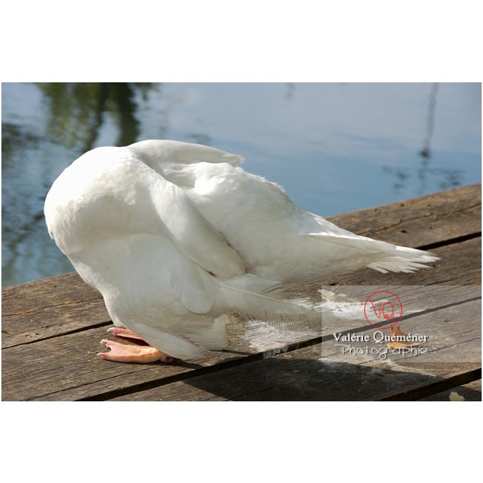 Canard de Barbarie ou canard musqué blanc en pied, la tête dans les plumes - Réf : VQA22-0020 (Q1)