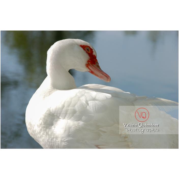 Portrait d'un canard de Barbarie ou canard musqué blanc sur fond d'eau - Réf : VQA22-0023 (Q1)