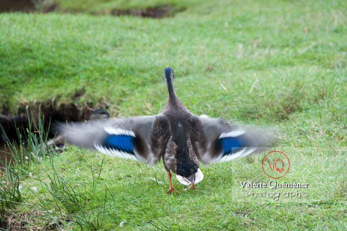 Battement d'ailes de canard colvert femelle - réf : VQA22-0027 (Q2)